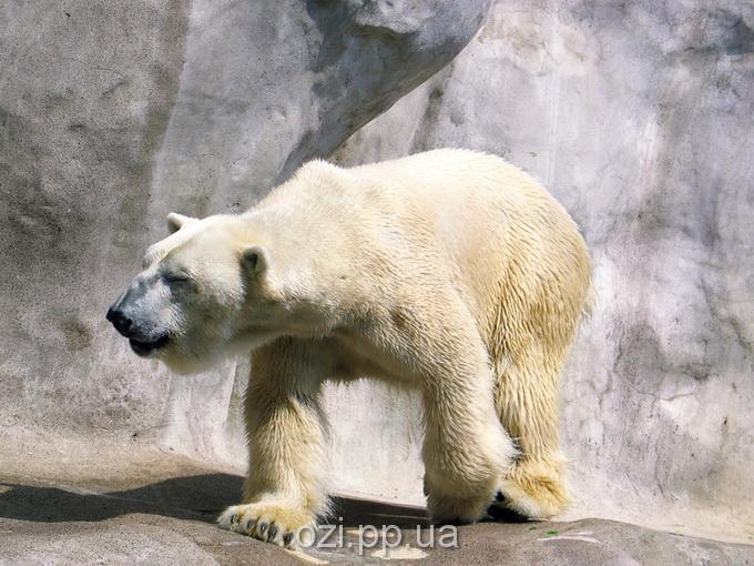білий медведь у зоопарку