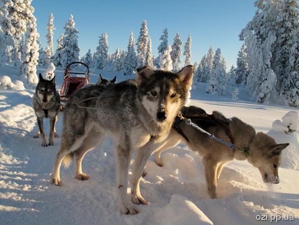 Фінська собача упряжка