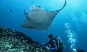 Індонезія має намір захищати гігантських скатів
