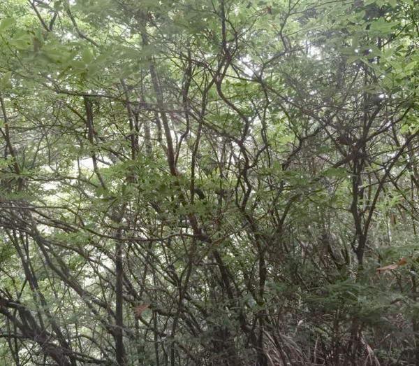 рослини Мадейри