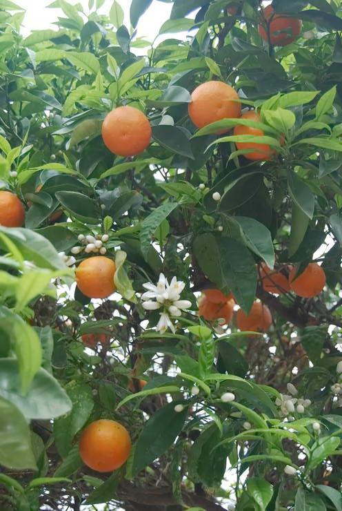 апельсиновий гай