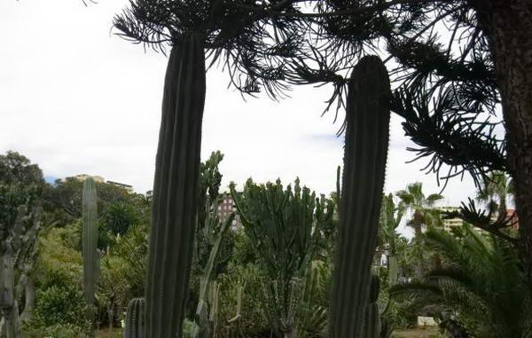 високі кактуси