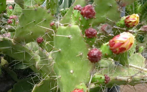 сад з кактусів