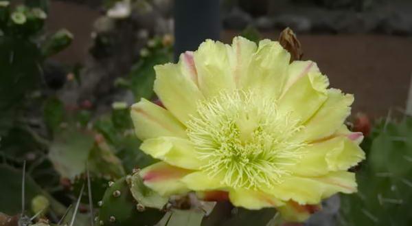цвітучий кактус