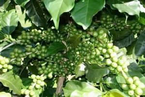 Зеленый кофе. Польза или вред его употребления