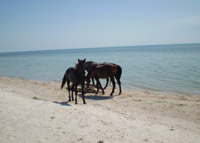 лошади на острове Джарылгач