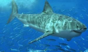 Целебные свойства хряща акулы