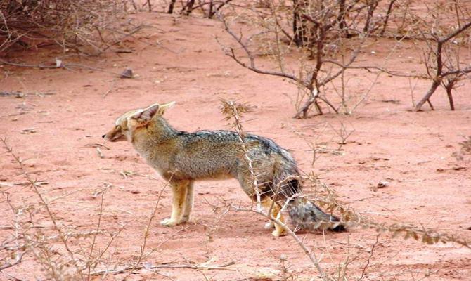 сіра лисиця в парку Талампайа