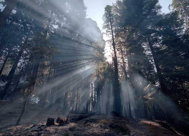 сонячні промені серед дерев секвойя