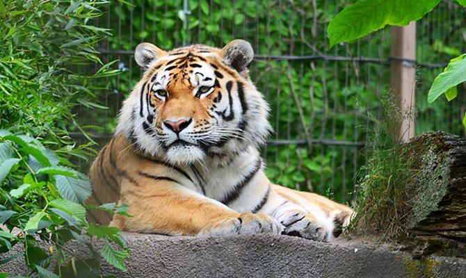 тигр в зоопарку Хельсінкі