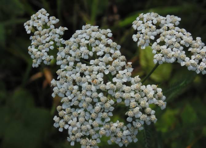 Целебные растения - тысячелистник