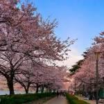 Цветение сакур в Японии: однажды увидеть и влюбиться навсегда