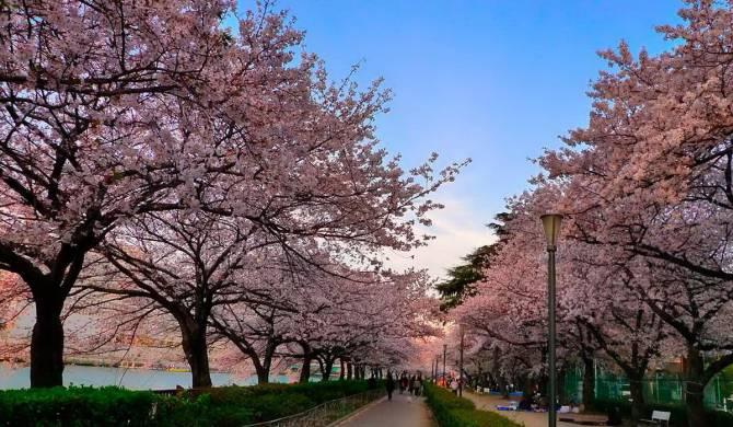 цветение сакур в Японии