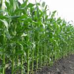 Гербіциди для кукурудзи: місце в технології вирощування