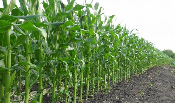 кукурудза вирощена із застосуванням гербіцидів