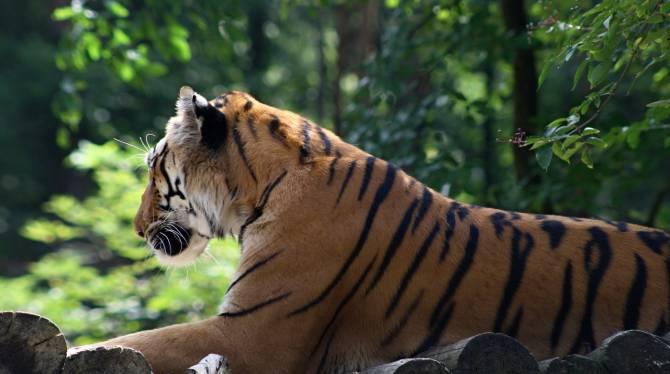 бенгальський тигр у парку Джим-Корбетт