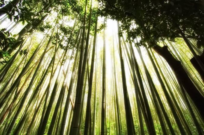 Бамбуковий ліс Сагано (Японія)