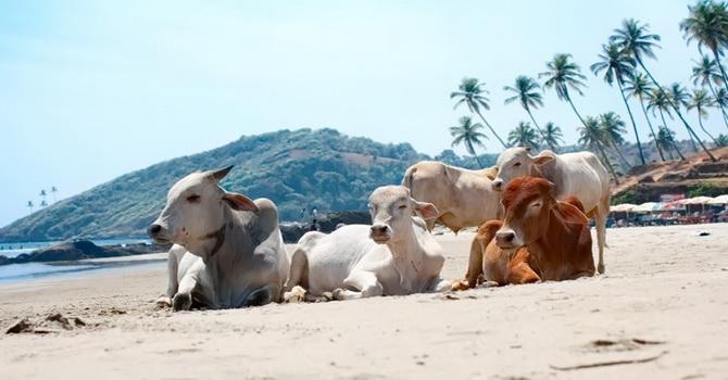 Фото: пляжі Гоа