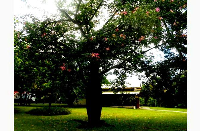 «Вагітне дерево»