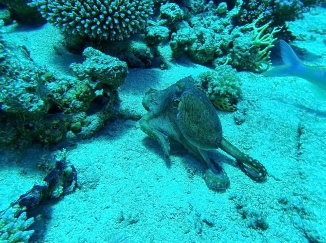 Дайвінг на Маврикії. Восьминіг