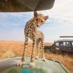 """На сафарі в Танзанії туристи """"близько познайомилися"""" з гепардом"""