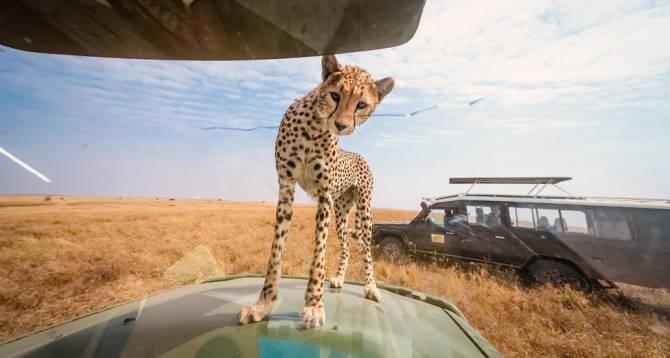 гепард на машині туристів