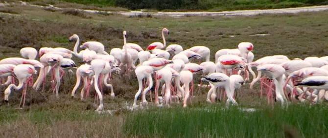 рожеві фламінго на Корфу