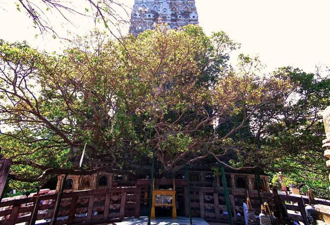 Дерево Бодхі